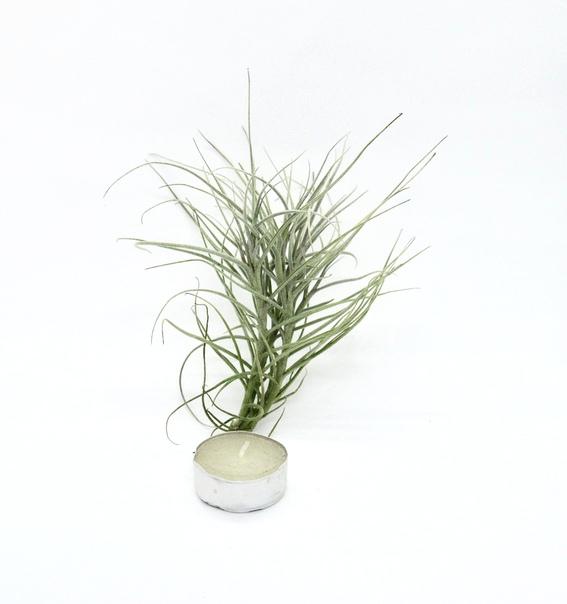Купить «Capillaris pulk» в интернет-магазине Smallairplants