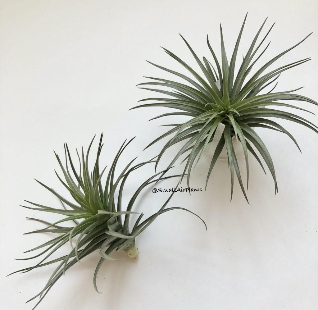 Купить «Aeranthos & Bergeri» в интернет-магазине Smallairplants