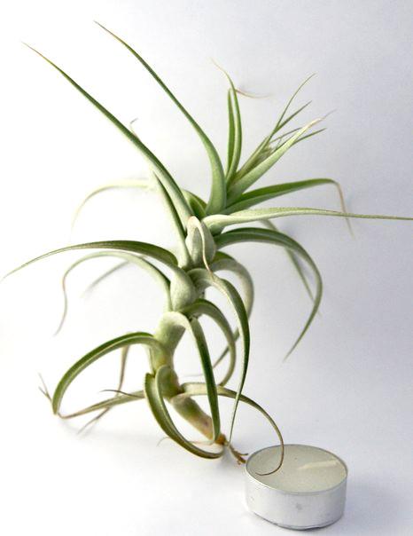 Купить «Bergeri L» в интернет-магазине Smallairplants