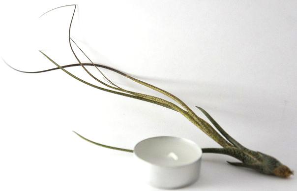 Купить «Butzii Medium» в интернет-магазине Smallairplants
