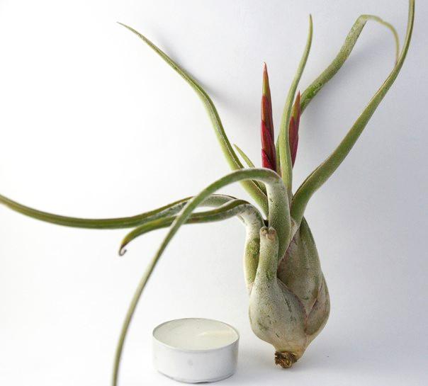 Купить «Caput Medusae L» в интернет-магазине Smallairplants