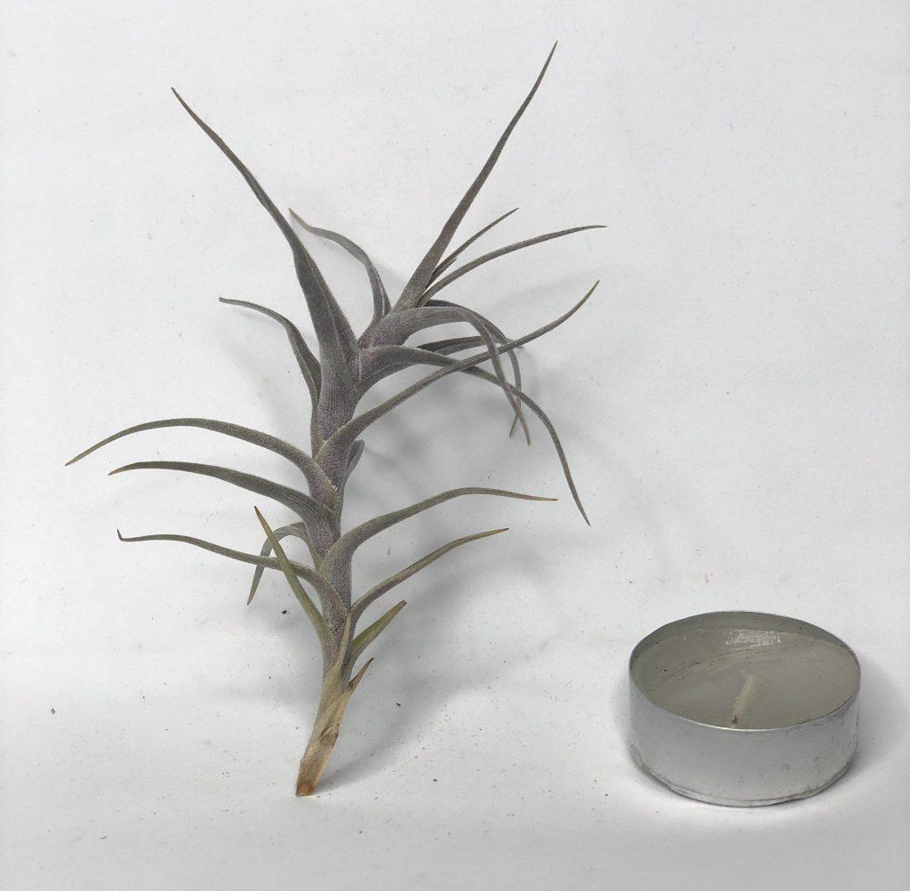 Купить «Diaguitensis» в интернет-магазине Smallairplants