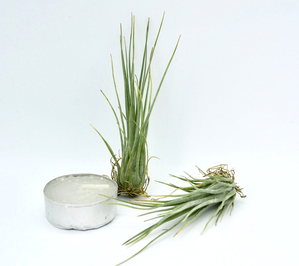 Купить «Disticha M» в интернет-магазине Smallairplants