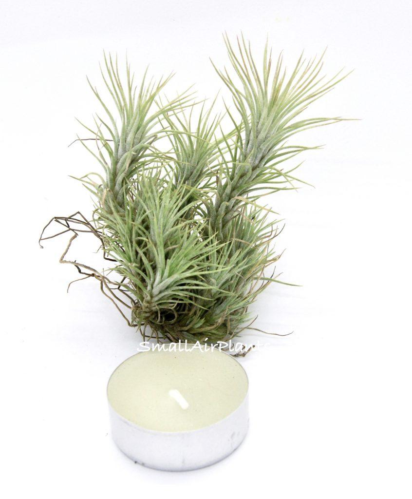 Купить «Funckiana Pulk» в интернет-магазине Smallairplants