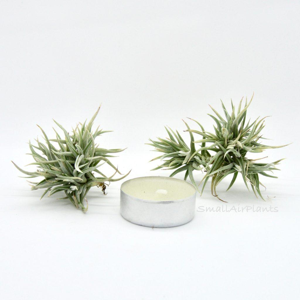 Купить «Funebris» в интернет-магазине Smallairplants