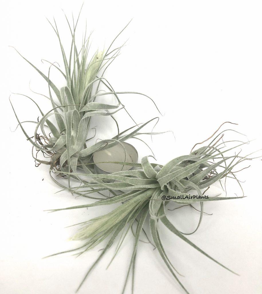 Купить «Gardneri S» в интернет-магазине Smallairplants
