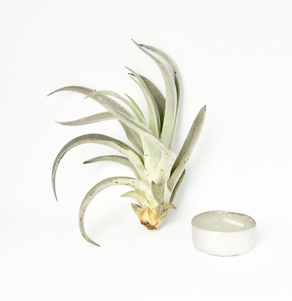 Купить «Harrisii M» в интернет-магазине Smallairplants