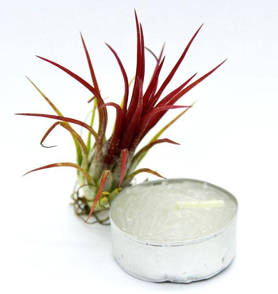 Купить «Ionantha Fuego» в интернет-магазине Smallairplants