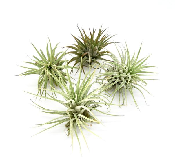 Купить «Ionantha Rubra» в интернет-магазине Smallairplants