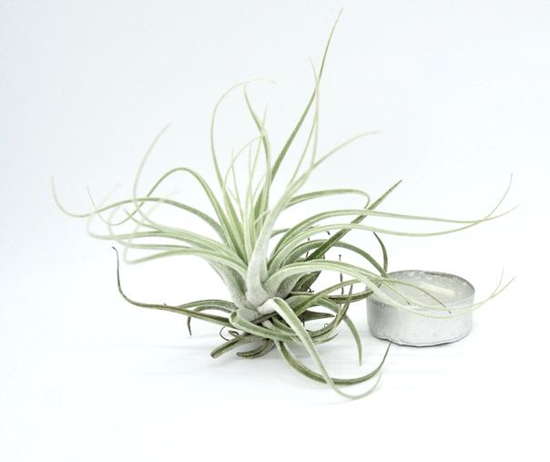 Купить «Velickiana L» в интернет-магазине Smallairplants