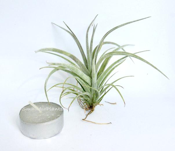 Купить «Pohliana S» в интернет-магазине Smallairplants
