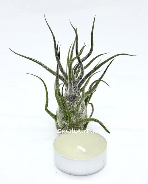 Купить «Pruinosa» в интернет-магазине Smallairplants