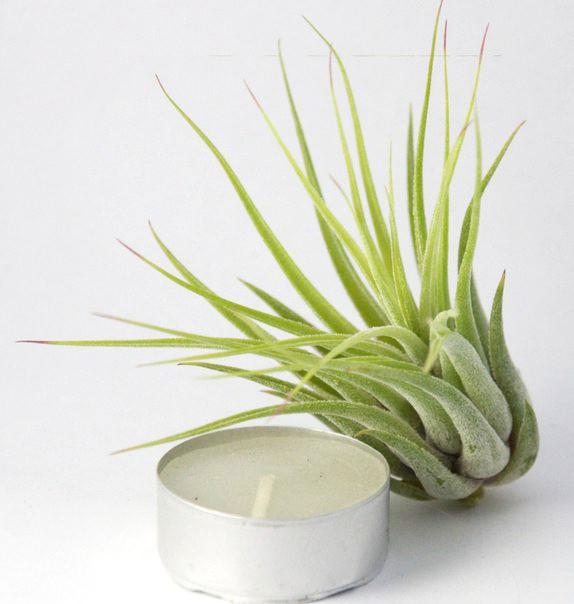 Купить «Scaposa L (Kolbii) XS» в интернет-магазине Smallairplants