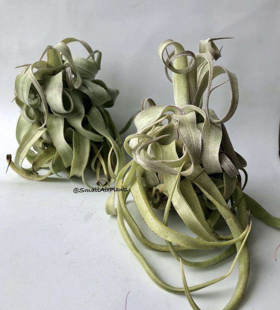 Купить «Streptophylla L» в интернет-магазине Smallairplants