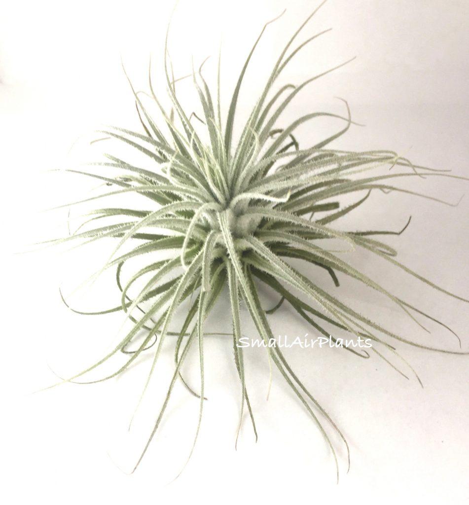 Купить «Tectorum» в интернет-магазине Smallairplants