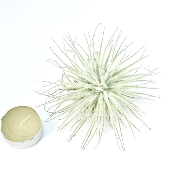Купить «Tectorum Snow L» в интернет-магазине Smallairplants