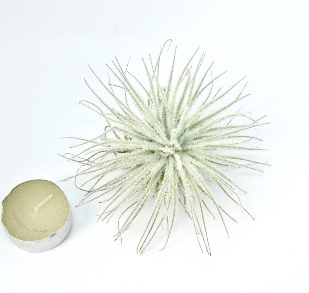 Купить «Tectorum Snow XL» в интернет-магазине Smallairplants