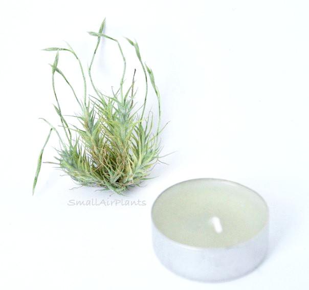 Купить «Triholepis Pulk» в интернет-магазине Smallairplants