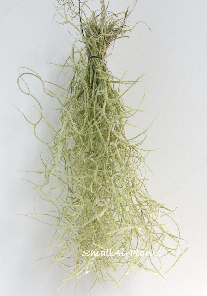 Купить «Usneoides S (silber grob)» в интернет-магазине Smallairplants