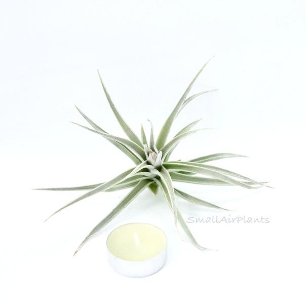 Купить «White Star» в интернет-магазине Smallairplants