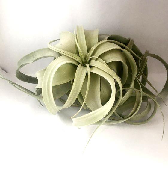 Купить «Xerographica large» в интернет-магазине Smallairplants