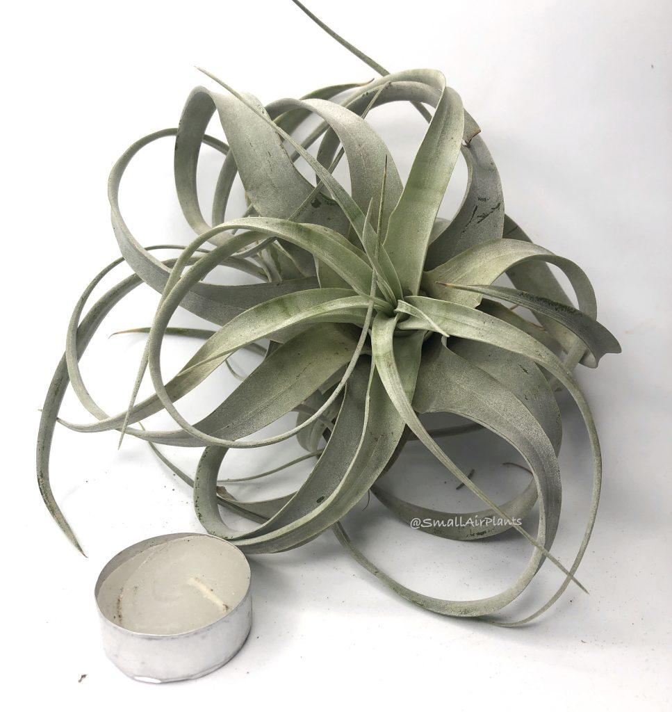 Купить «Xerographica small» в интернет-магазине Smallairplants