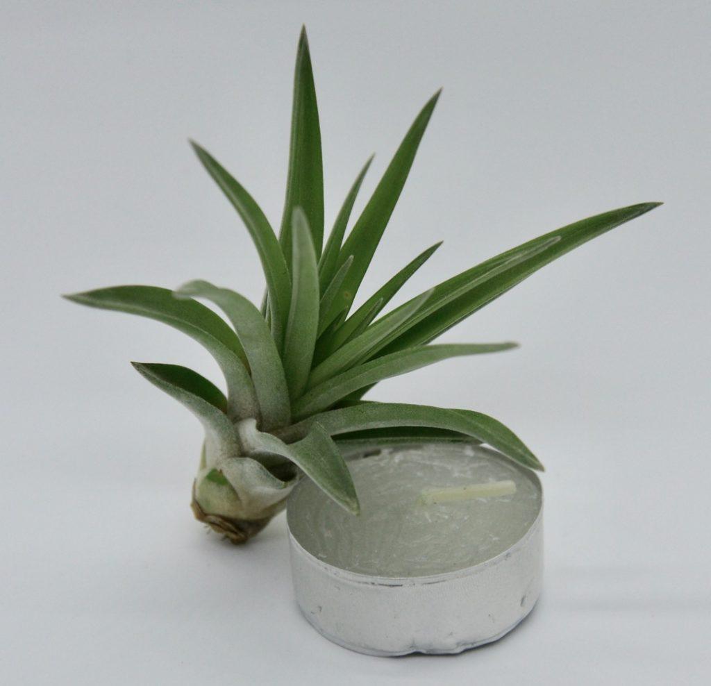 Купить «Abdida S» в интернет-магазине Smallairplants
