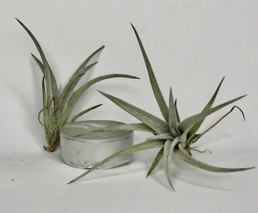 Купить «Fresnilloensis Mini» в интернет-магазине Smallairplants