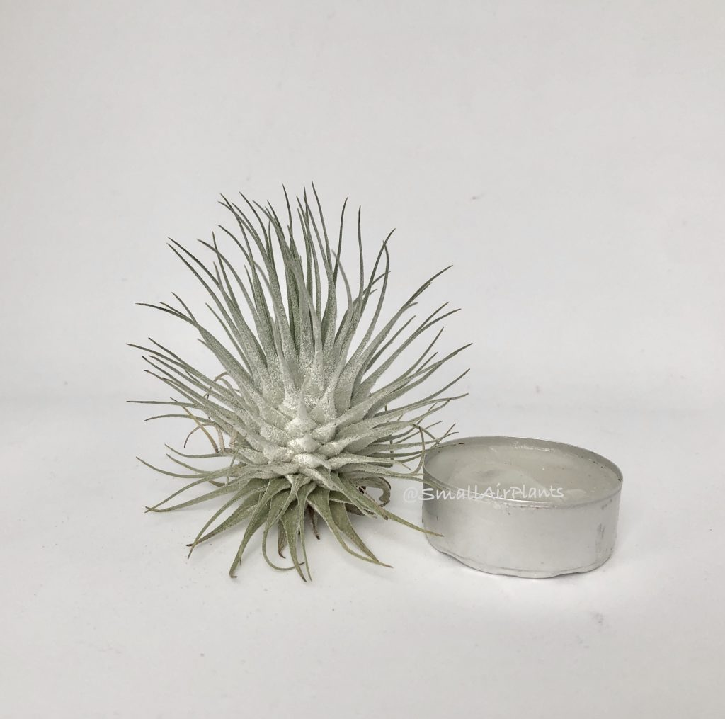 Купить «Fuchsii v. Fuchsii» в интернет-магазине Smallairplants