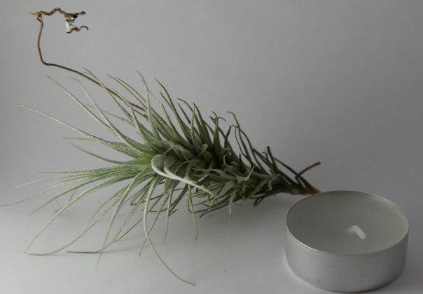 Купить «Heteromorpha» в интернет-магазине Smallairplants
