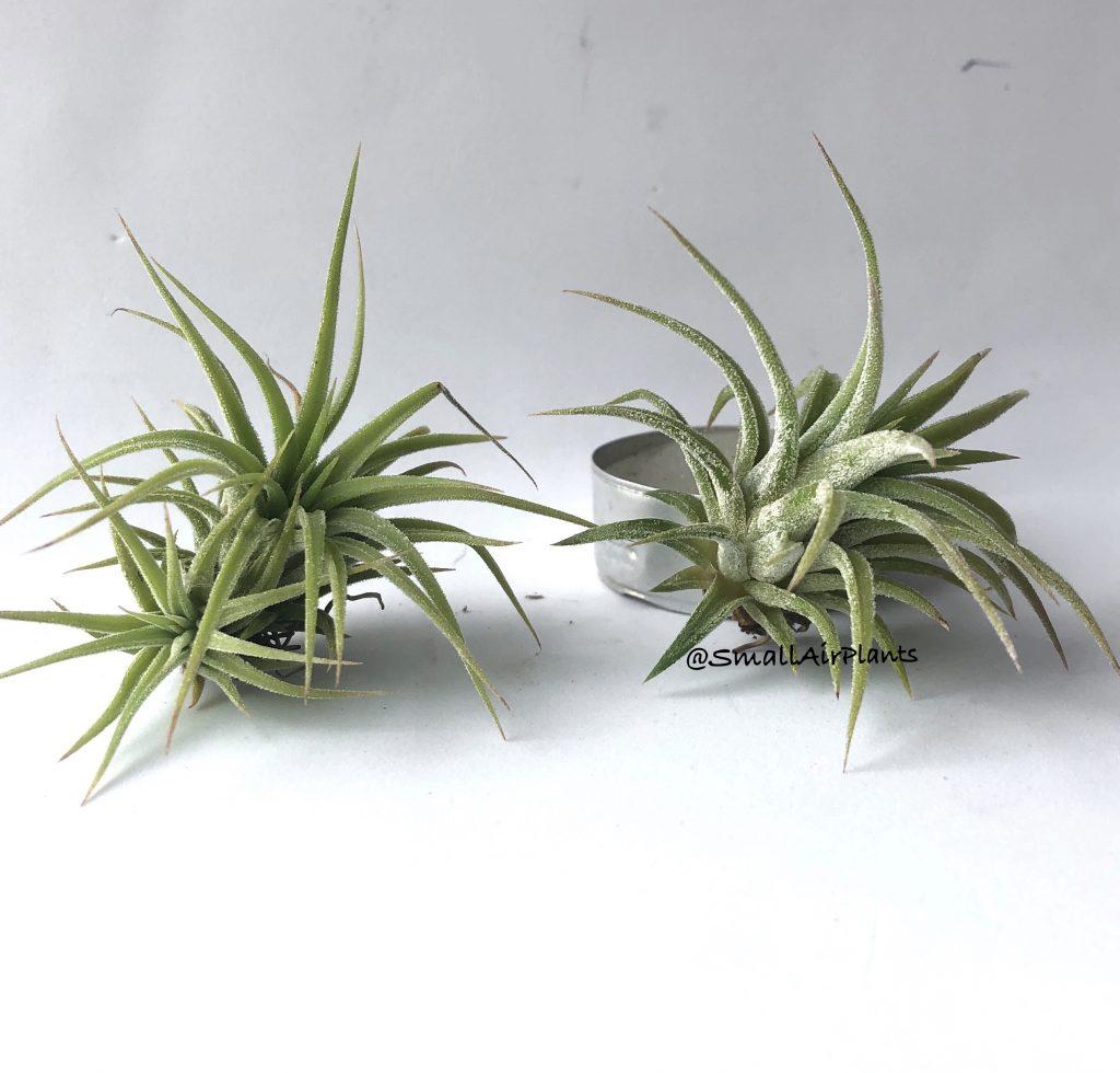 Купить «Ionantha Mexico» в интернет-магазине Smallairplants