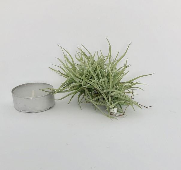 Купить «Schiedeana Pulk Mini» в интернет-магазине Smallairplants