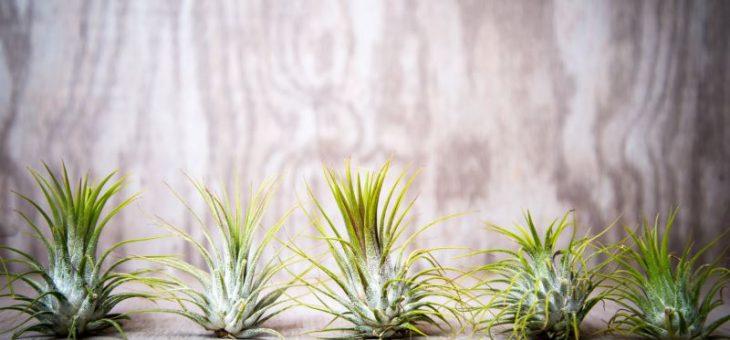 Виды тилландсий рекомендуемые для новичков