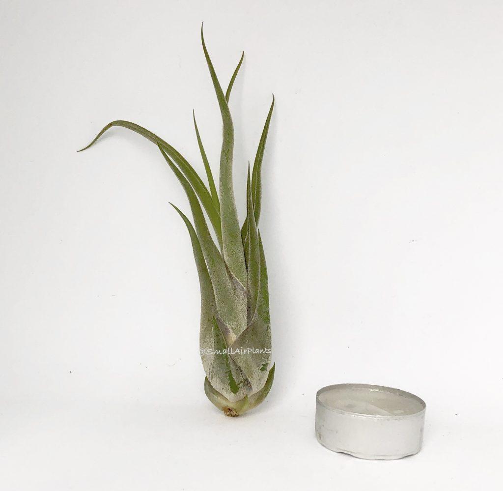 Купить «Caput Medusae M» в интернет-магазине Smallairplants