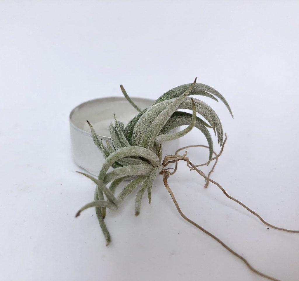 Купить «Zecheri» в интернет-магазине Smallairplants