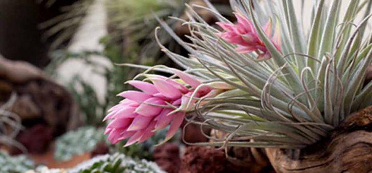 Тилландсии «сухого» флорариума