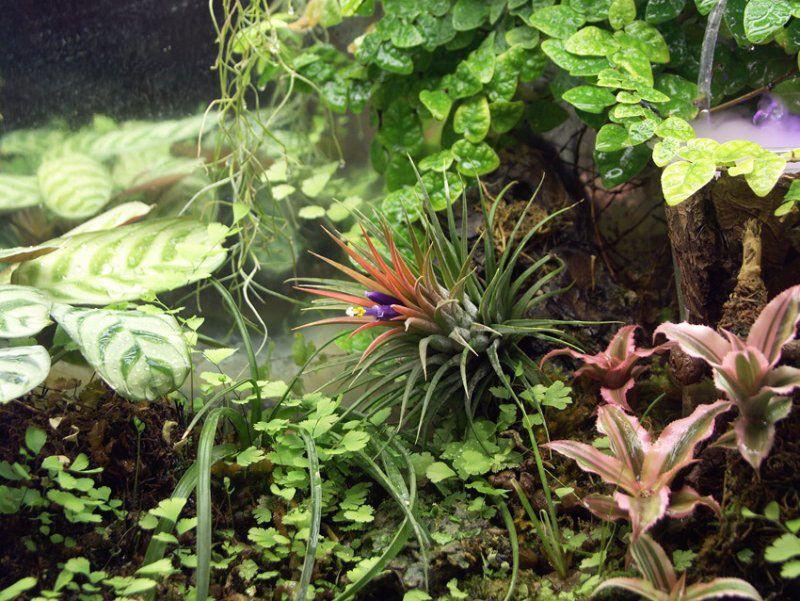 Тилландсии влажного флорариума