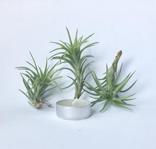 Купить «Araujei Open Form» в интернет-магазине Smallairplants