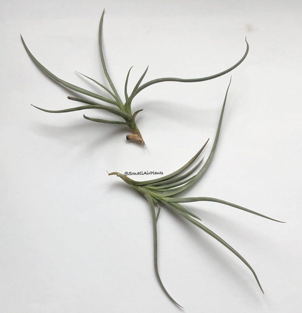 Купить «Caliginosa» в интернет-магазине Smallairplants