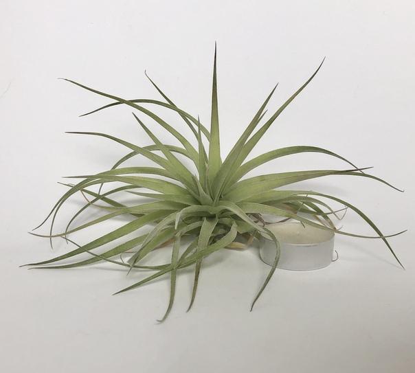 Купить «Geminiflora» в интернет-магазине Smallairplants