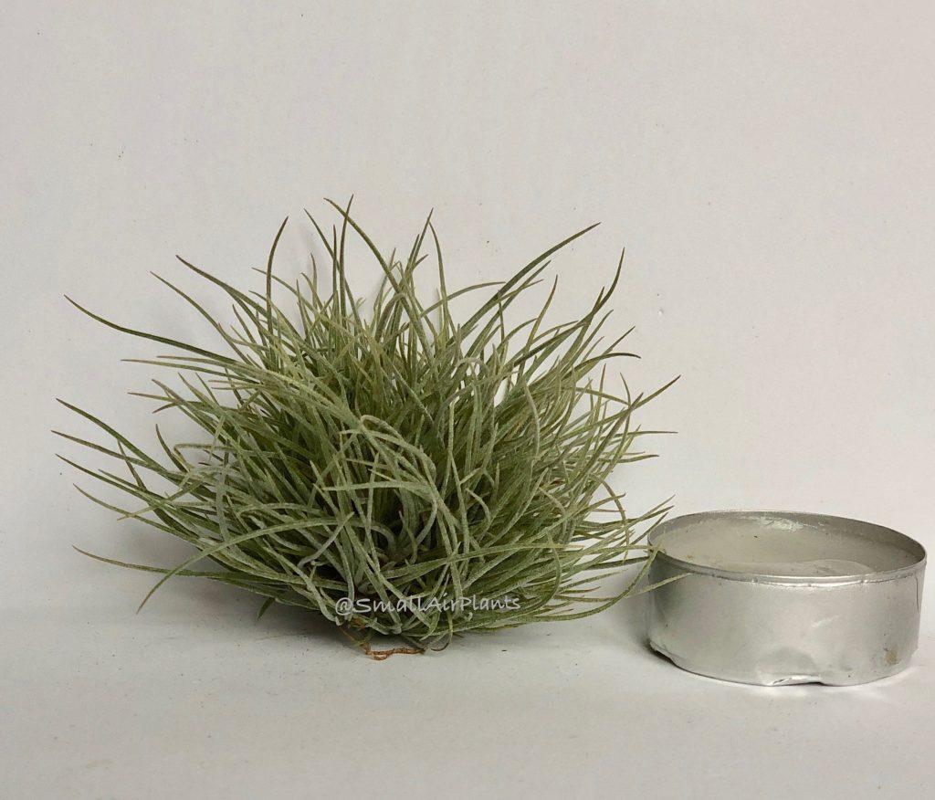 Купить «Bartamii Pulk S» в интернет-магазине Smallairplants