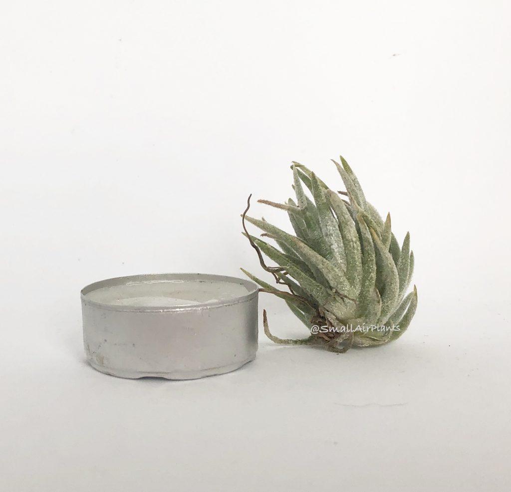 Купить «Pueblensis Pulk» в интернет-магазине Smallairplants