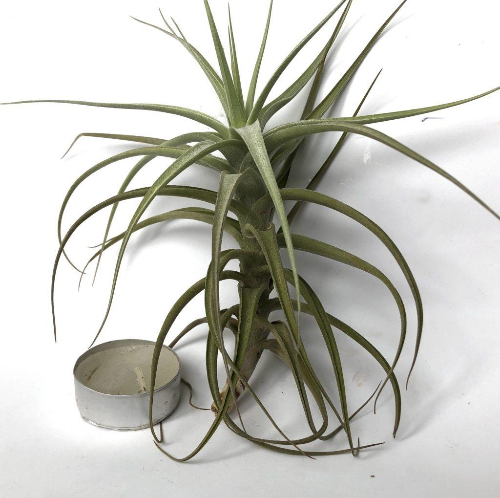 Купить «Bergeri M» в интернет-магазине Smallairplants