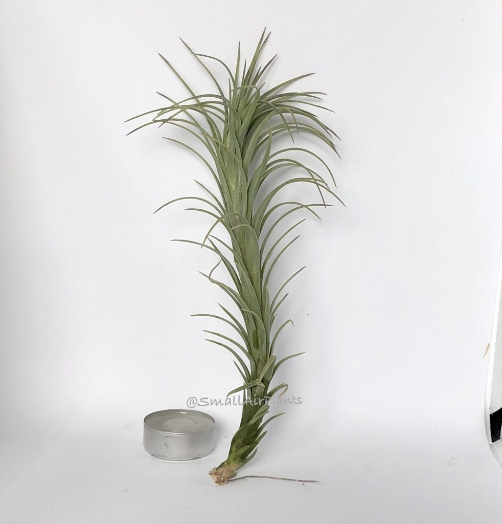 Купить «Araujei Open Form L» в интернет-магазине Smallairplants