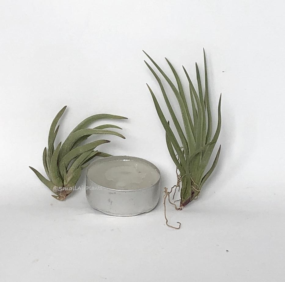 Купить «Argentina» в интернет-магазине Smallairplants