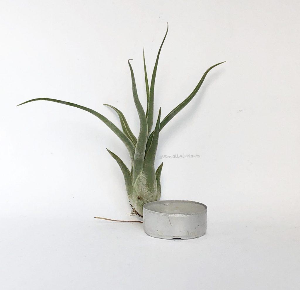 Купить «Caput Medusae S» в интернет-магазине Smallairplants