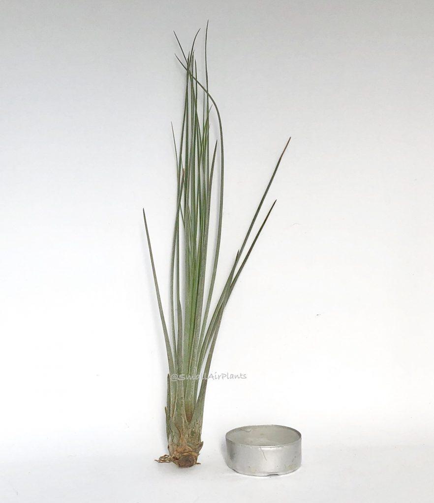 Купить «Juncea S» в интернет-магазине Smallairplants