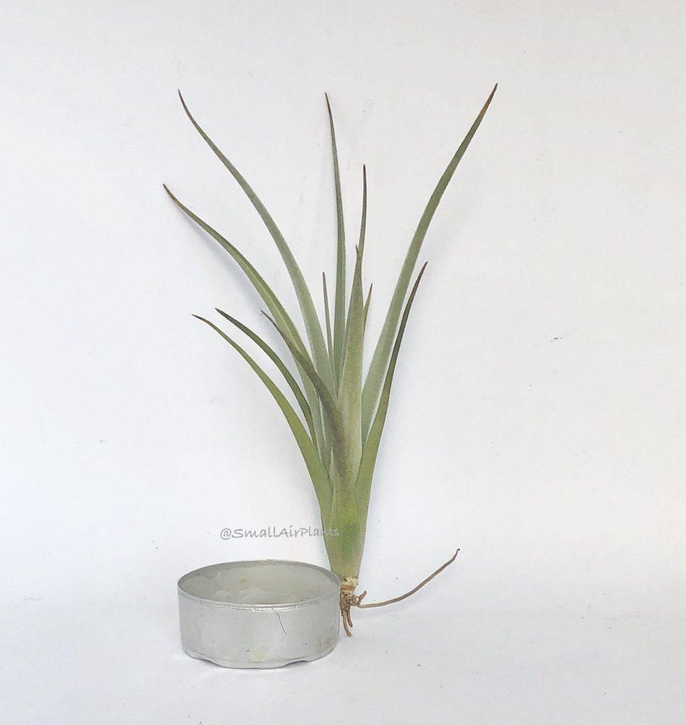 Купить «Lorentziana S» в интернет-магазине Smallairplants