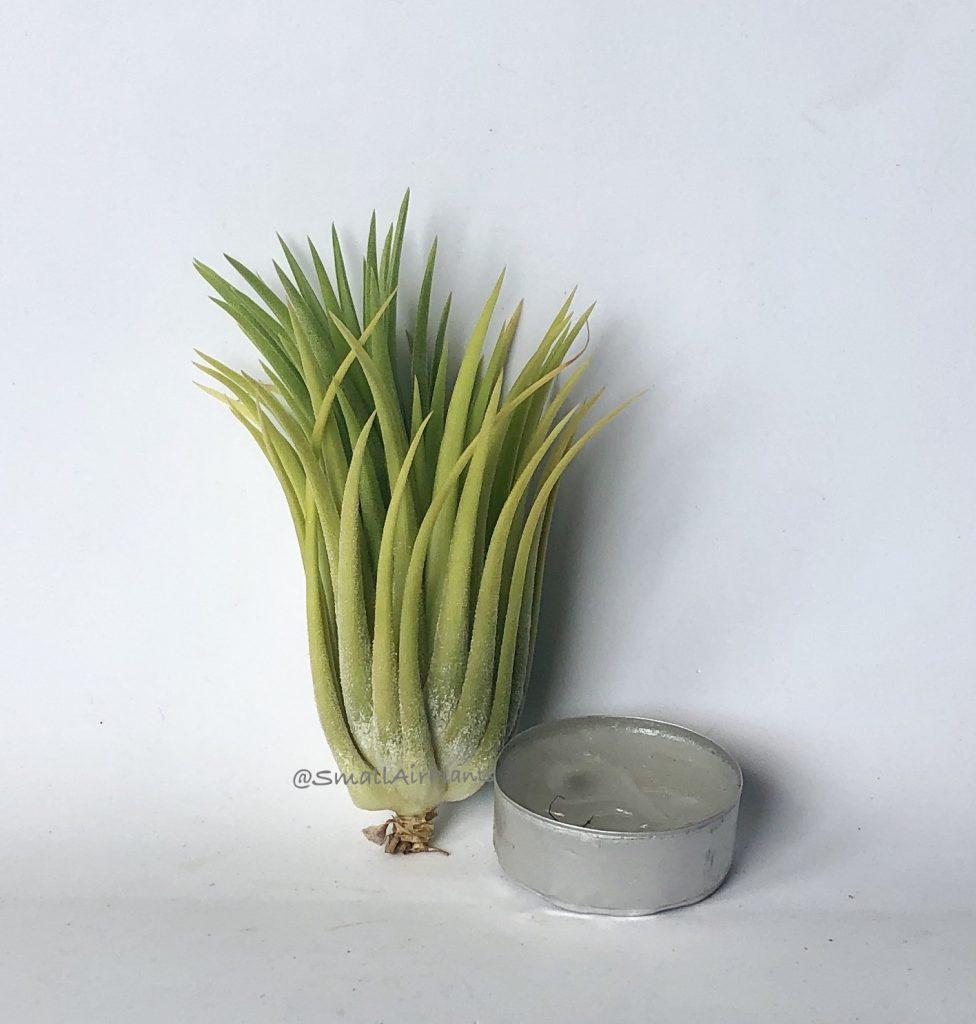 Купить «Druid L» в интернет-магазине Smallairplants
