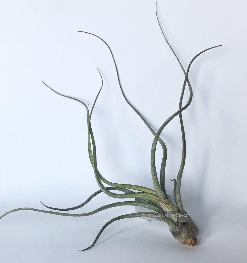 Купить «Pseudobaileyi» в интернет-магазине Smallairplants